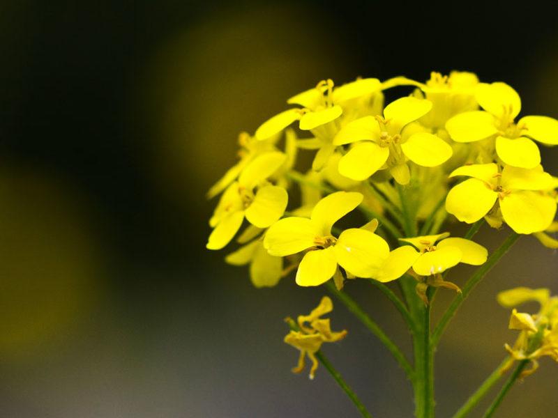21 – Mustard