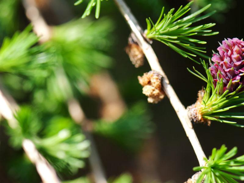 24 – Pine