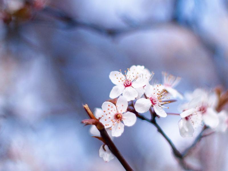 6 – Cherry Plum