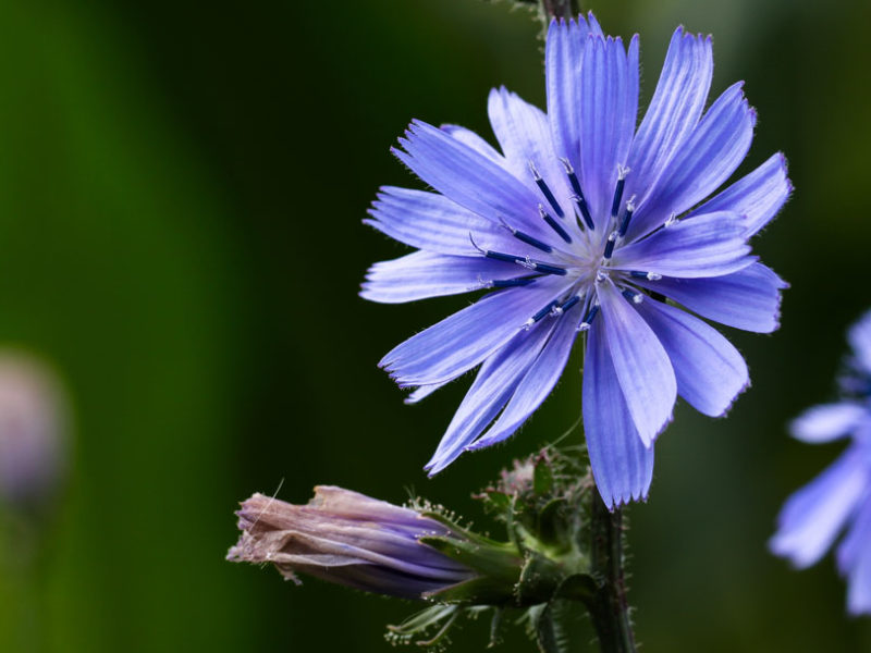 8 – Chicory